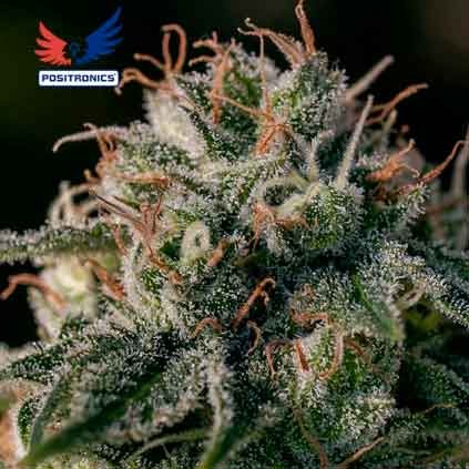 Crazy Lazy - 5 seeds - POSITRONICS SEEDS