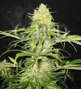 Critical 6 semillas - CBD SEEDS