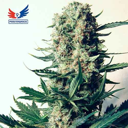 Critical 47 - POSITRONICS SEEDS