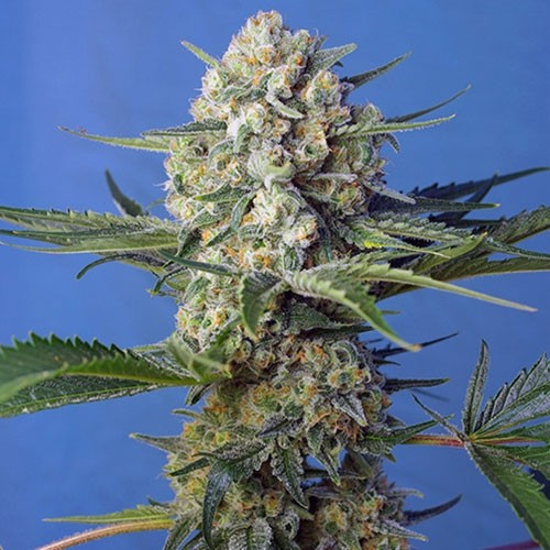 Crystal Candy F1 Fast Version - Fast Version - SWEET SEEDS