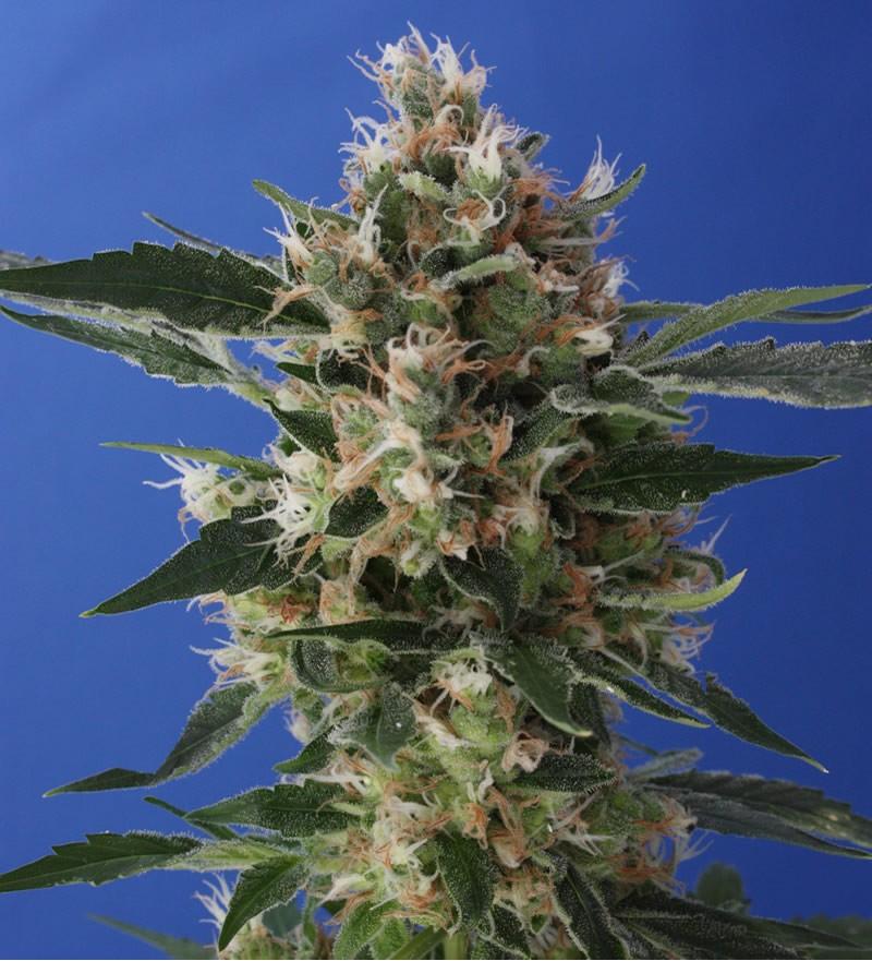 DHAZE: 10 semillas