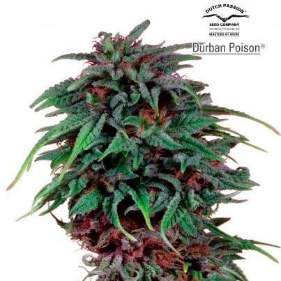 Durban Poison Reg. - REGULAR - DUTCH PASSION