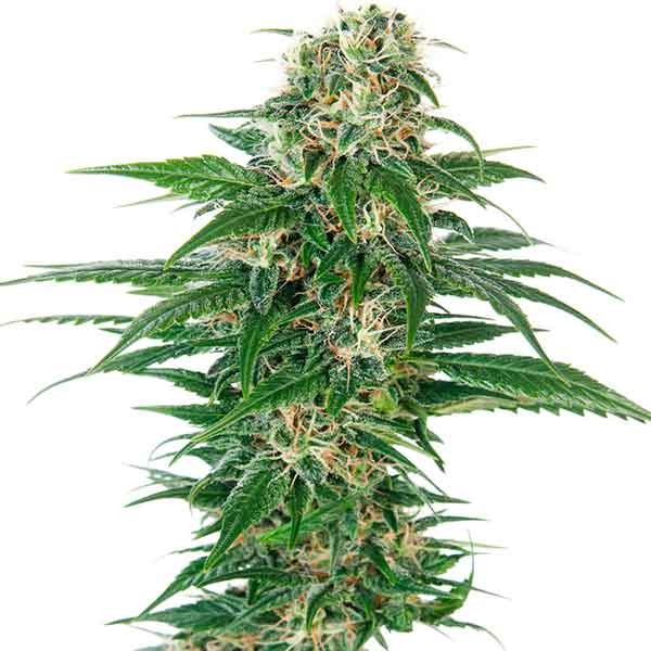 Early Skunk Auto - Automatic - SENSI SEEDS