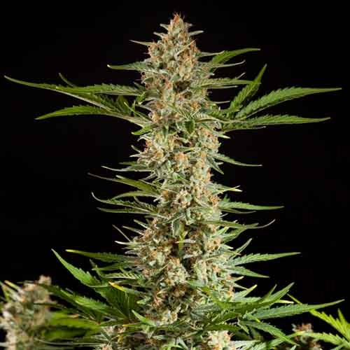 Fraggle Skunk Auto - Philosopher Seeds