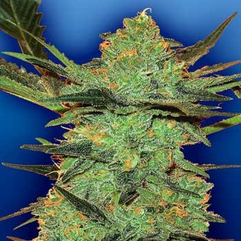 G-Force - 5 seeds - Flying Dutchmen
