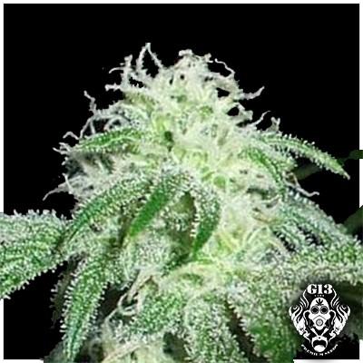 GIGABUD - 5 seeds