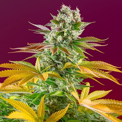 Gorilla Girl F1 Fast Version - Fast Version - SWEET SEEDS