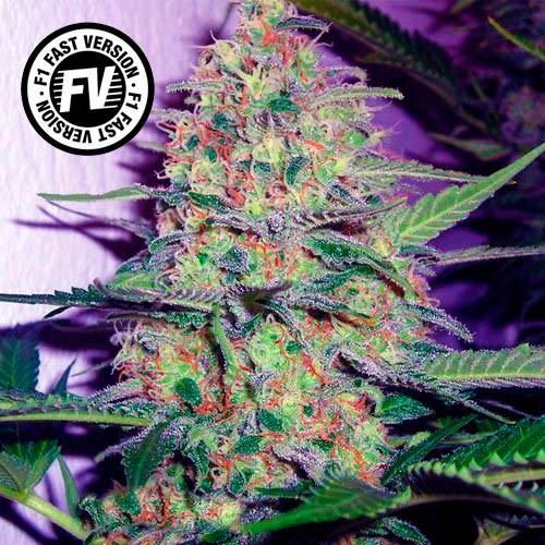 Green Poison Fast Version - Fast Version - SWEET SEEDS