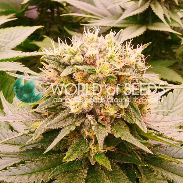 Harlequeen THC FREE - CBD COLLECTION - WORLDOFSEEDS