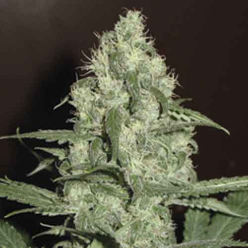 Homegrown Cheese Auto - 5 seeds - Fantaseeds