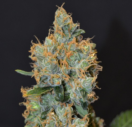 Lavender - Clasical - CBD SEEDS