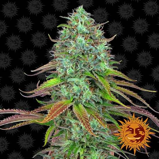 LSD Auto - Autoflowering - BARNEY'S FARM