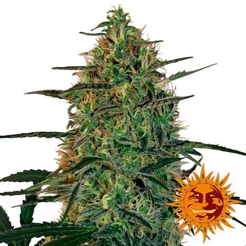 MALANA BOMB AUTO  - Autoflowering - BARNEY'S FARM