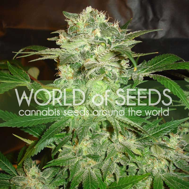 MAZAR KUSH - LEGEND COLLECTION - WORLDOFSEEDS