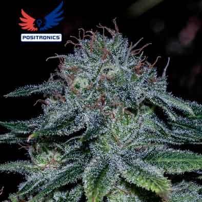 Mystic Cookie - 5 seeds