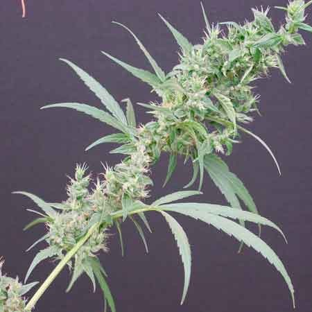 Neville'S Haze Mango - 15 seeds - Mr. Nice