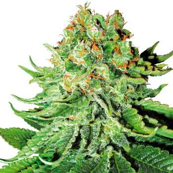Northern Lights Automatic (White Label) - Automatic - SENSI SEEDS