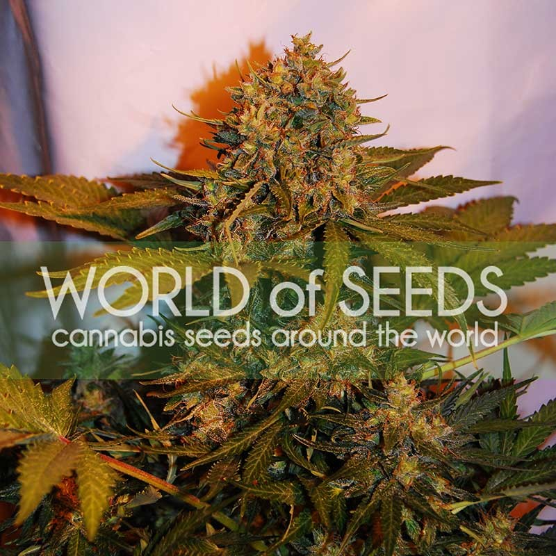 NORTHERN LIGHT X BIG BUD RYDER - SEMILLAS AUTOFLORECIENTES - WORLDOFSEEDS