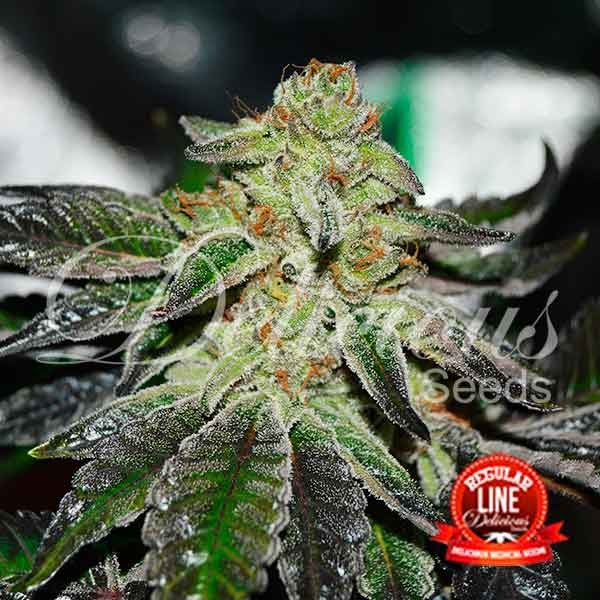 Original Juan Herer Regular - REGULAR - DELICIOUS SEEDS