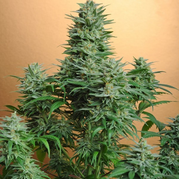 PAPAYA FEM 5 SEEDS