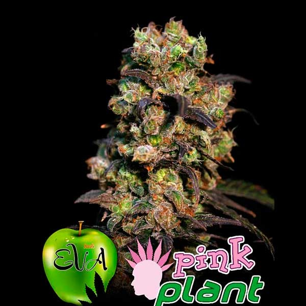 PINK PLANT - EVA SEEDS