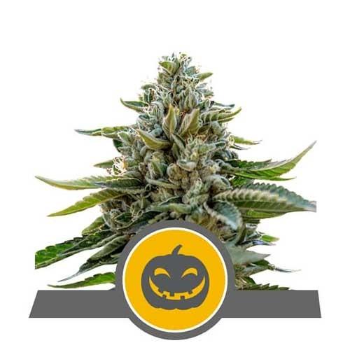 Pumpkin Kush Regular