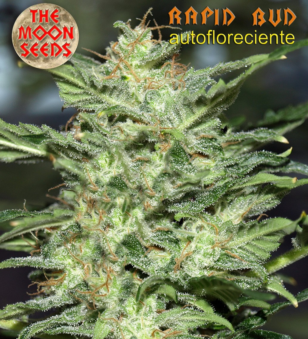 Rapid bud - autofloreciente 3 semillas - MOON SEEDS