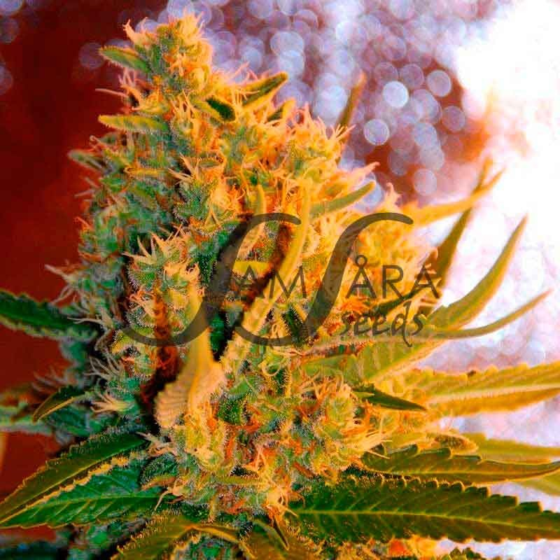 SHOT ADRENALINE  - SAMSARA SEEDS