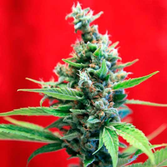 Mrs Amparo - Reggae Seeds