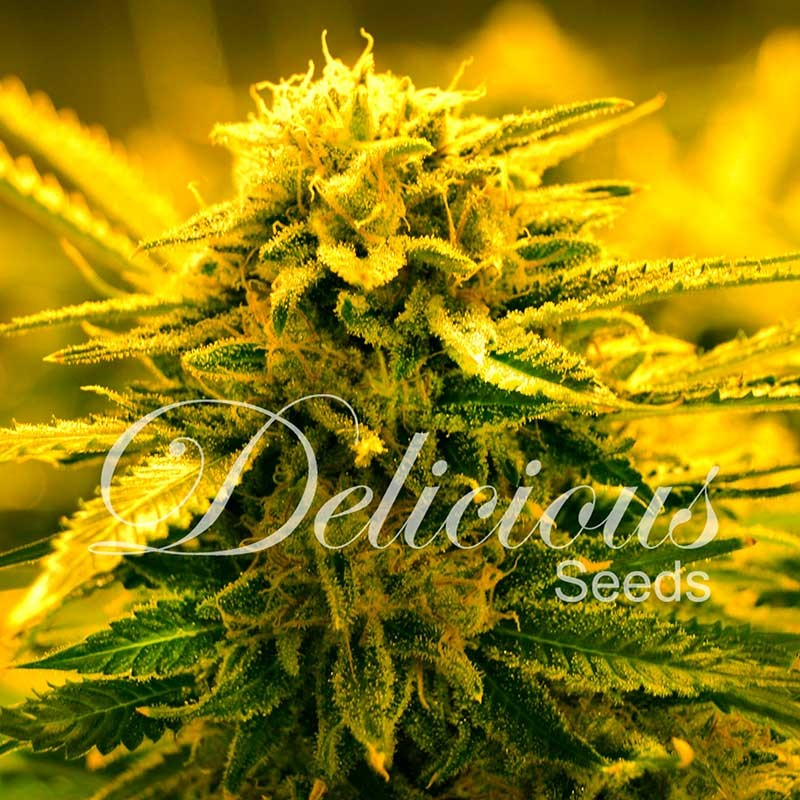 SUGAR BLACK ROSE AUTO - SEMILLAS AUTOFLORECIENTES - DELICIOUS SEEDS
