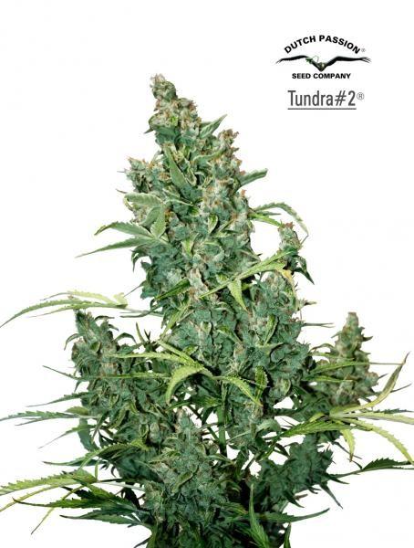 TUNDRA  #2 - 7 seeds - AUTOFLOWERING