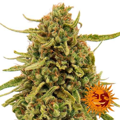 WIDOW REMEDY REGULAR - 10 seeds