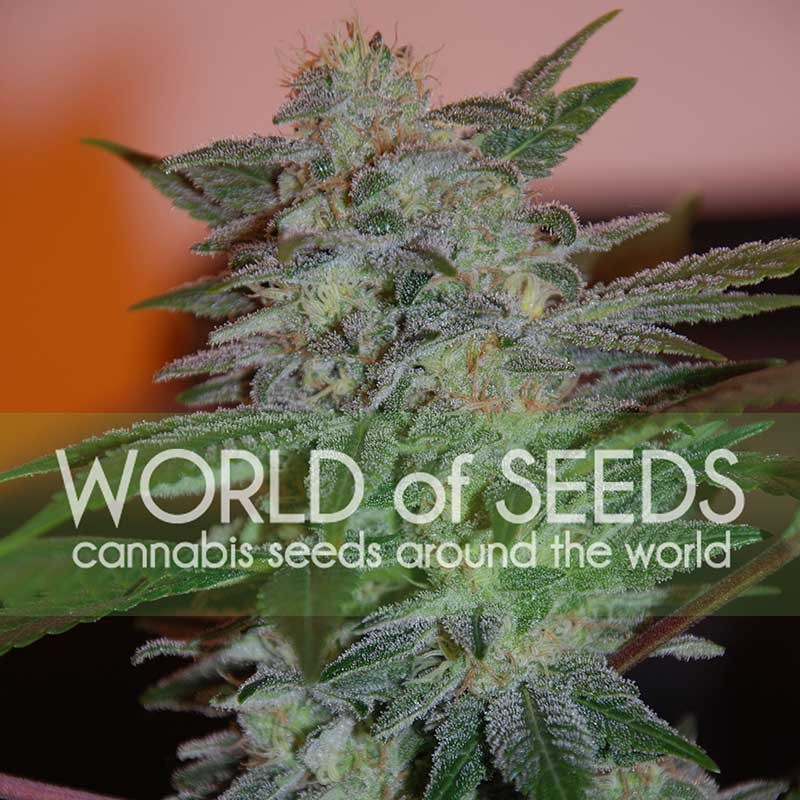 Yumbolt 47 - LEGEND COLLECTION - WORLDOFSEEDS