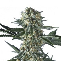 Purchase BATGUM  5 UND. FEM (HERO SEEDS)