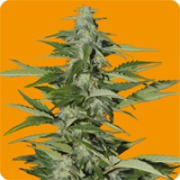Purchase HINDIANA - FEM. AUTO - 3 UND. (SEEDS OF LIFE)