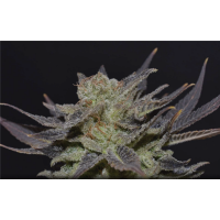 Purchase AUTO LAVENDER 10 UNIDS (CBD SEEDS)