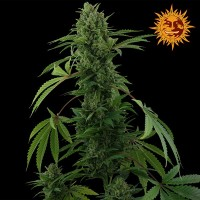 Purchase PINEAPPLE EXPRESS AUTO