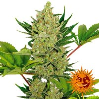 Purchase BLUEBERRY CHEESE AUTO