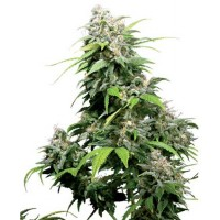 Purchase CALIFORNIA INDICA REGULAR (SENSI SEEDS)
