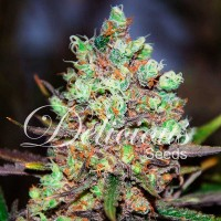 Purchase Cotton Candy Kush