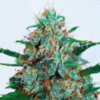 Purchase CRITICAL NEVILLE HAZE AUTO