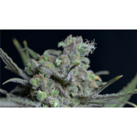 Purchase CRITICAL 1 UND FEM (CBD SEEDS)