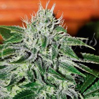 Purchase Critical Jack Herer
