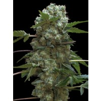 Purchase DOBLE AK 47 FEM 3 UNIDS (PROFESSIONAL SEEDS)