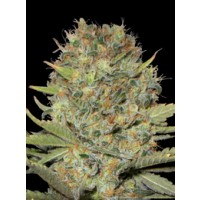 Purchase DUBBLE GUM - 3 UND FEM (PROFESSIONAL SEEDS)