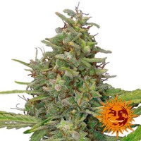 Purchase G13 HAZE