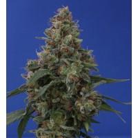 Purchase HASH PLANT: 10 semillas