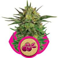 Purchase Haze Berry