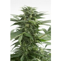 Purchase HAZE XXL AUTO