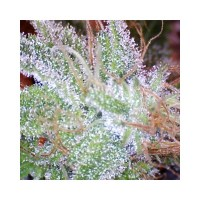 Purchase ICE FEM 5 SEEDS
